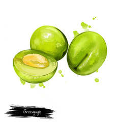 Greengage fruit isolated on white. Digital art watercolor illustration. Greengages group of cultivars of European plum. Gage fruit bright yellow round plums. Round-oval shape and smooth-textured