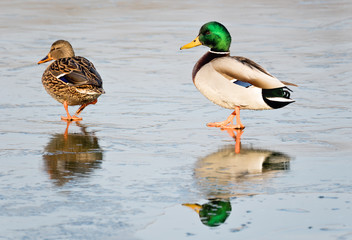 Wild Duck Birds, Mallard Duck (Anas platyrhynchos). Male followi