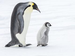 Emperor Penguins on the frozen Weddell sea, Antarctica