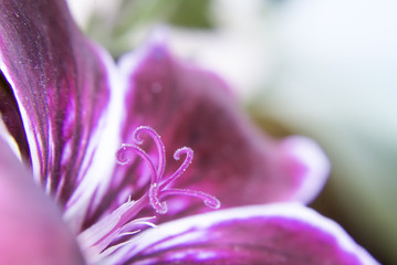 Macro of garden pelargonium
