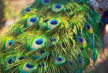 Adult male peacock's tail. Feather close-up. Breeding birds on farms.
