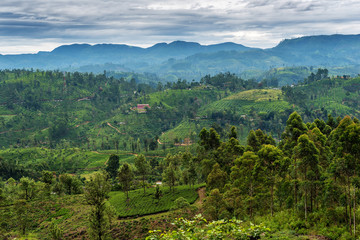 Sri Lanka: famous Ceylon highland tea fields