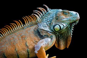 Sleeping dragon - Green iguana isolated on black