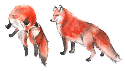 Red Fox. Isolated on a white background. Watercolor illustration.