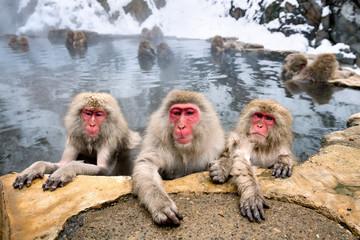 Eine Gruppe Japanmakaken beim Baden in einer heißen Quelle