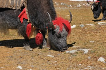 Grazing yak with funny red hairdo