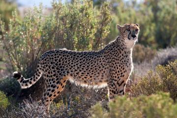 cheetah, acinonyx jubatus, South Africa