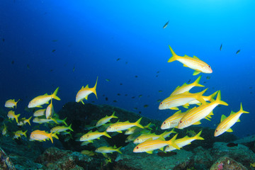 Fish school coral reef underwater sea ocean