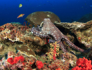 Octopus and fish on coral reef