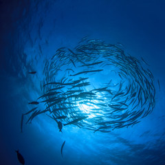 Barracuda fish underwater