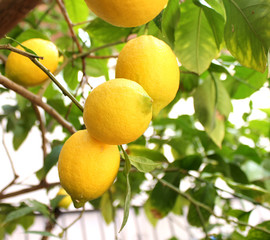 Ripe lemons hang on tree branch in sunshine. Closeup, shallow DOF.