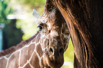 Giraffe Portrait Peeking From Behind Tree