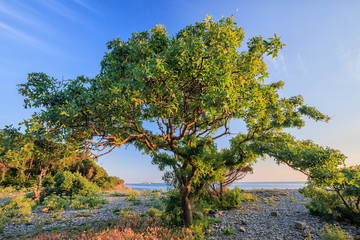 Beautiful scenic green pistachio tree on a pebble sea shore on a sunny summer day on blue sky background
