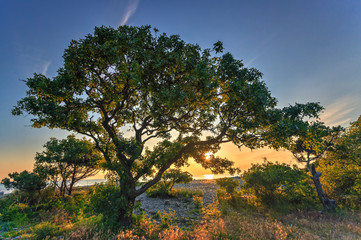 Beautiful scenic green pistachio tree on a pebble sea shore at summer sunset on blue sky background
