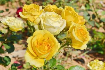 Yellow rose flower.