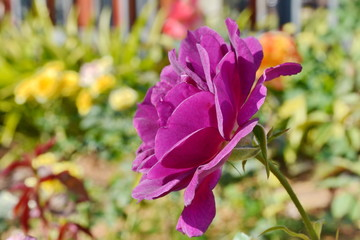 Violet rose flower.