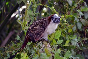 Geoffroy's Tamarin Best/Tamarin Monkey perched in a tree