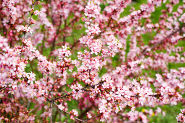 The branches of a flowering almond