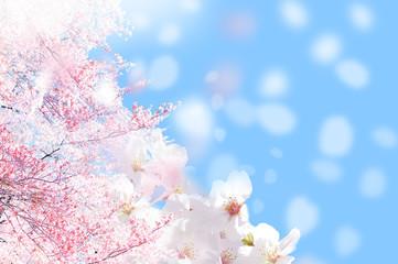 桜 ほわ 一