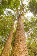 Kauri or Agathis Australis, native trees of New Zealand