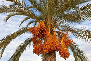 Date palm. Close-up photography.