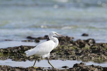 海辺の白鷺