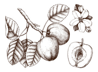 Apple botanical illustration. Vintage tree sketch with hand drawn leaves, fruit and flower. Vector drawing.