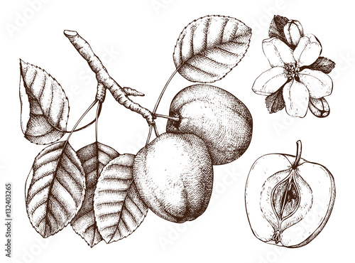 Apple botanical illustration vintage tree sketch with hand drawn apple botanical illustration vintage tree sketch with hand drawn leaves fruit and flower thecheapjerseys Gallery