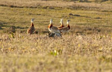 Four males of Great bustard in mating season fighting. Otis tarda
