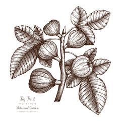 Fig tree botanical illustration. Vintage fig fruit sketch. Hand drawn vector.