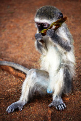 Vervet monkey eating the tree leaf. Safari in Kruger National Park.  Autumn in South Africa.