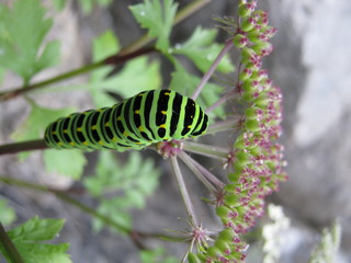 Green larva