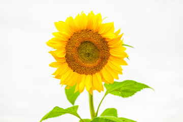 isolated sunflower in the sunlight