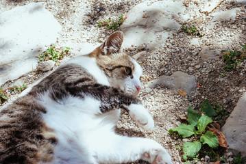 Gatto bianco con macchie grige e occhi verdi