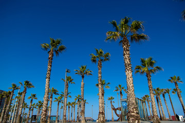 Green palm trees, blue background of sky, street of Barcelona