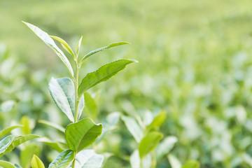 Close up Green tea plantation