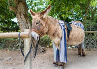 Poitou donkey in pants, Saint Martin de Re,  France