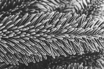 black and white photo fir branches covered with frost close up, winter background