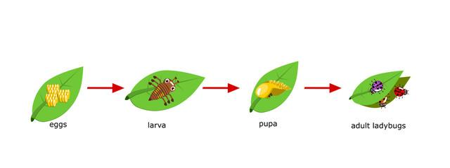 Vector Cycle of ladybug for kids