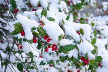 Holly tree and berries covered with winter snow