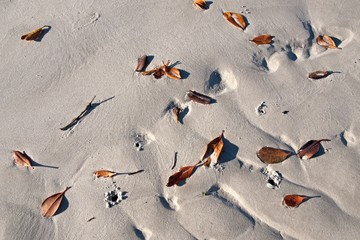 Brown autumn Mangrove Tree leaves scattered on the white sandy tropical beach of Coongul Point, World heritage site Fraser Island, Queensland, Australia