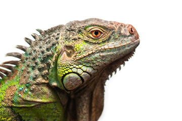 Green iguana isolated on white