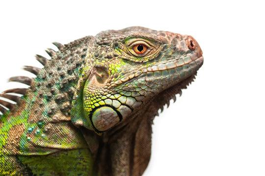 Green iguana isolated on white