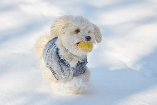 White havanese dog with ball in the snow