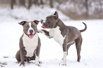 Staffordshire Terrier on a walk in the winter.