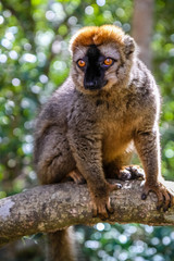 Brown lemur in the jungle