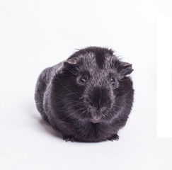 Guinea Pig - Black Guinea Pig isolated on white background