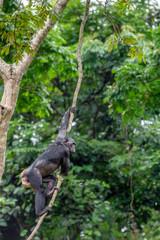 Bonobo in natural habitat. Green natural background. The Bonobo