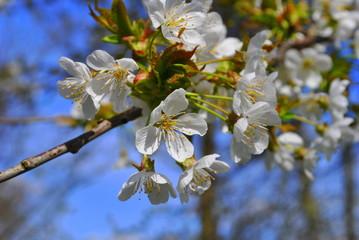 Kwitnąca gałązka wiśni