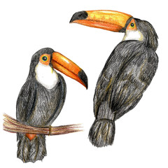 Raster realistic pencil set of a couple of toucans isolated on white. Design element, biological illustration for special sources (books, magazines, sites), ornithology theme.